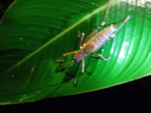 Giant cricket, part of the lobster family