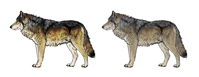 how-to-draw-wolves-wolf-color-contrast