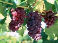 Grapes 3 - red