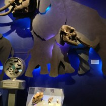 The Ice Ages Gallery: The Mastodon display