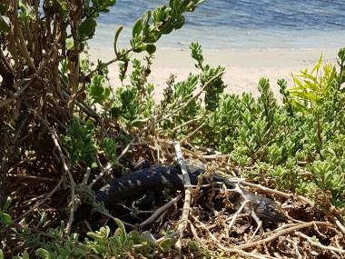 King Skink Penguin Island