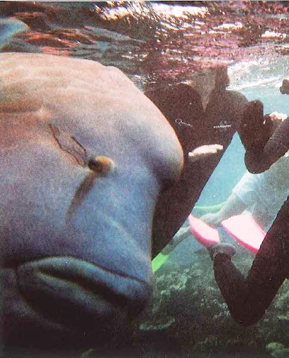 Humphead Wrasse on the Great Barrier Reef Queensland Australia