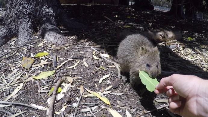 Quokka on Rottnest Island, Western Australia