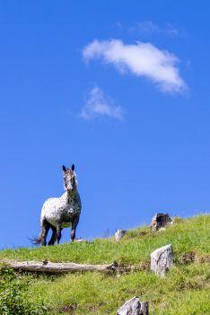New Zealand Horse