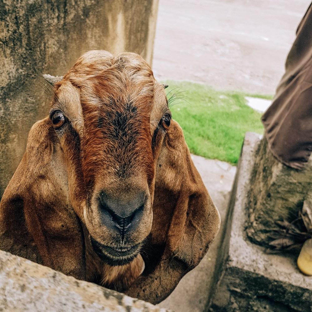 Goat Denpasar Bali
