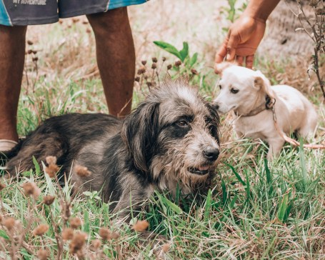 Paws of Lembongan Nusa Ceningan Dog Greybeard