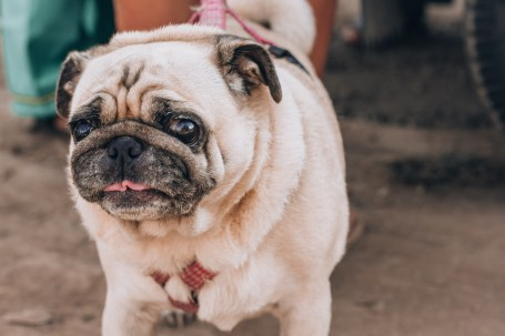 Paws of Lembongan Nusa Ceningan Pug Dog