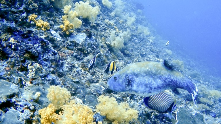 Puffer Fish Blue Corner Scuba Dive Nusa Lembongan Bali