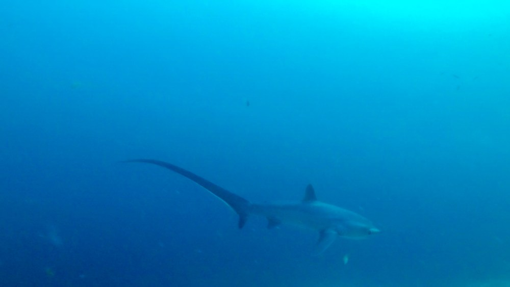 Malapascua Island Cebu Philippines Thresher Shark 1