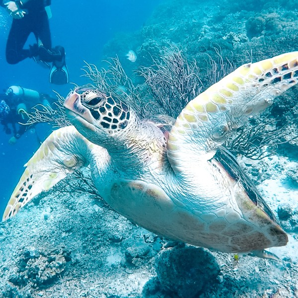 Moalboal Scuba Diving Turtle Cebu Philippines