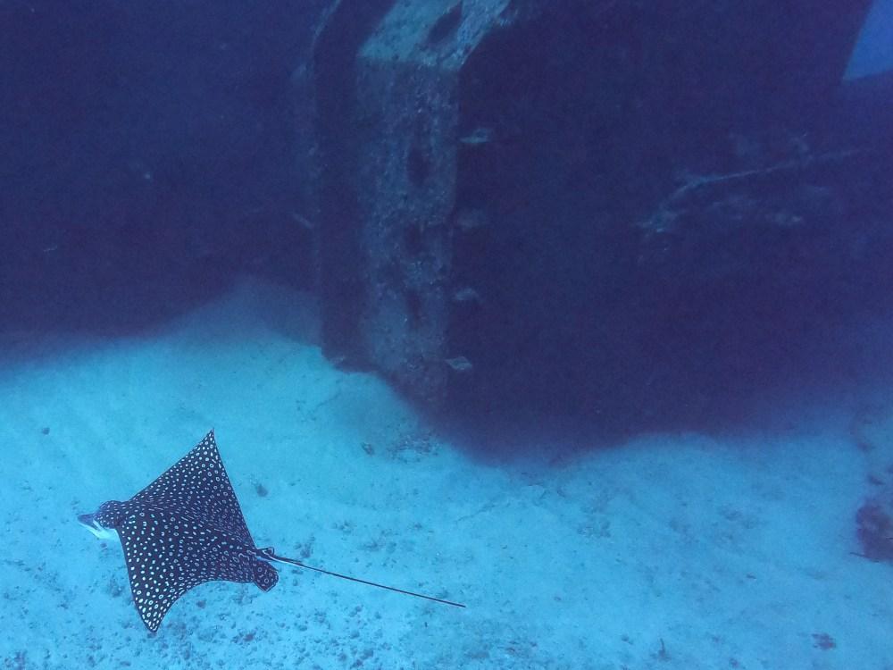 Eagle Ray next to Shipwreck Cancun Mexico