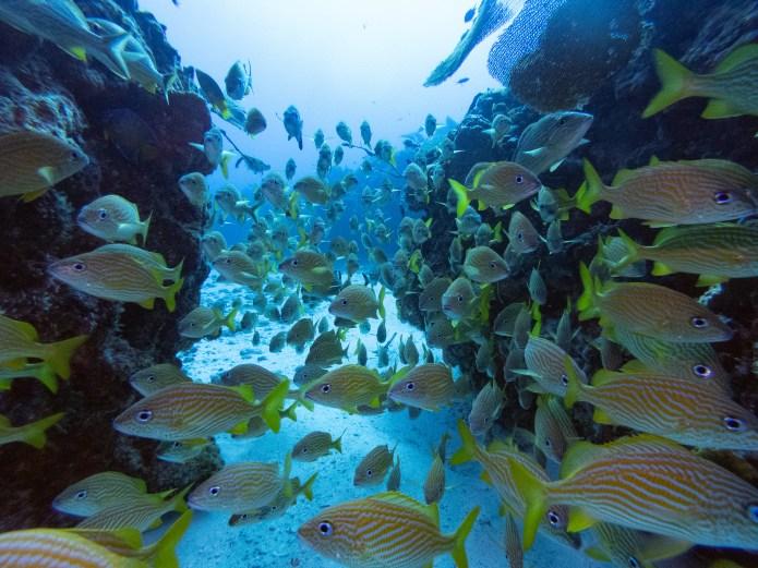 Schooling Fish Scuba Dive Cancun Mexico North America