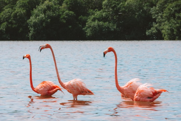 Celestun Flamingo Yucatan Mexico North America