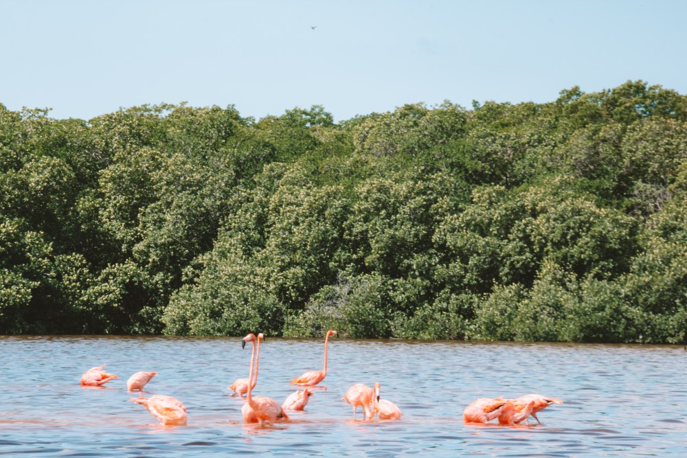 Celestun Flamingoes Merida Mexico North America