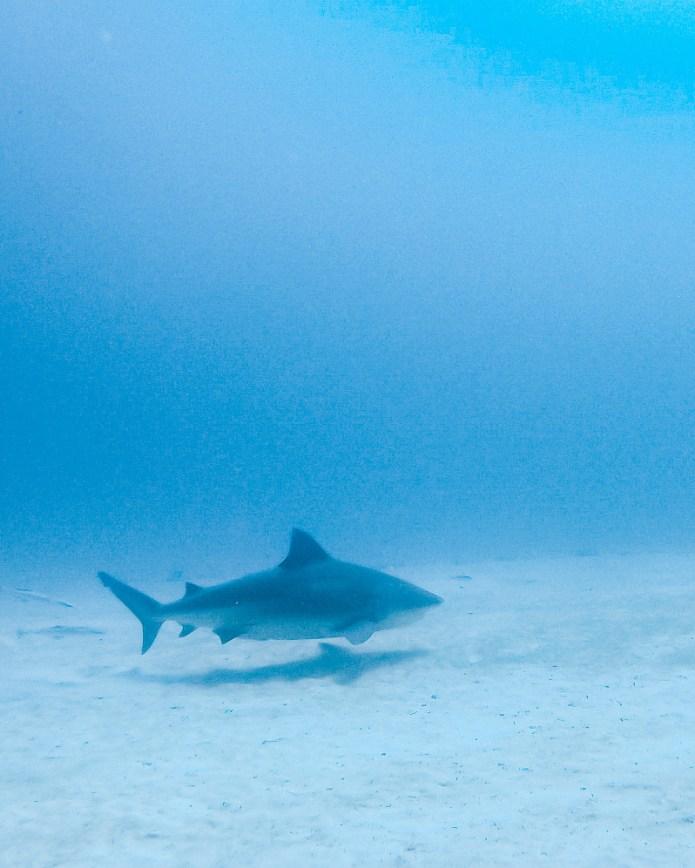Scuba Dive Bull Shark Playa del Carmen Mexico North America