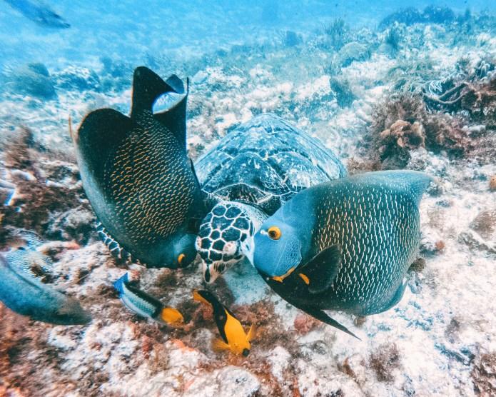 Scuba Dive Turtle Playa del Carmen Cozumel Mexico North America