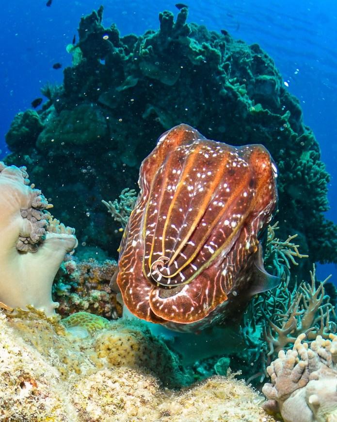Cuttlefish Great Barrier Reef Cairns Queensland Australia