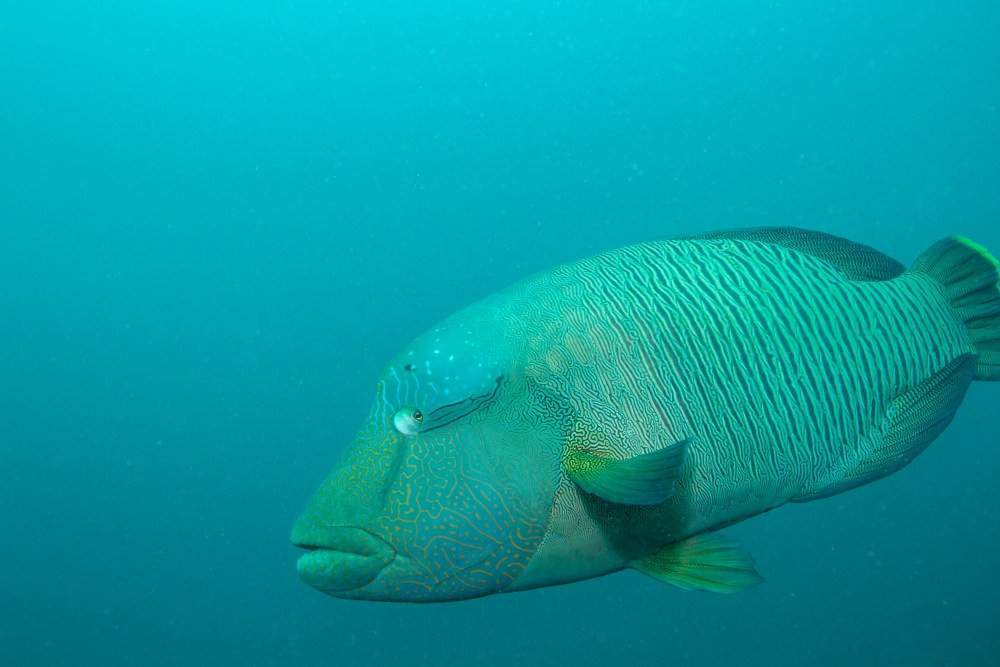 SS Yongala Queensland Australia Wrasse