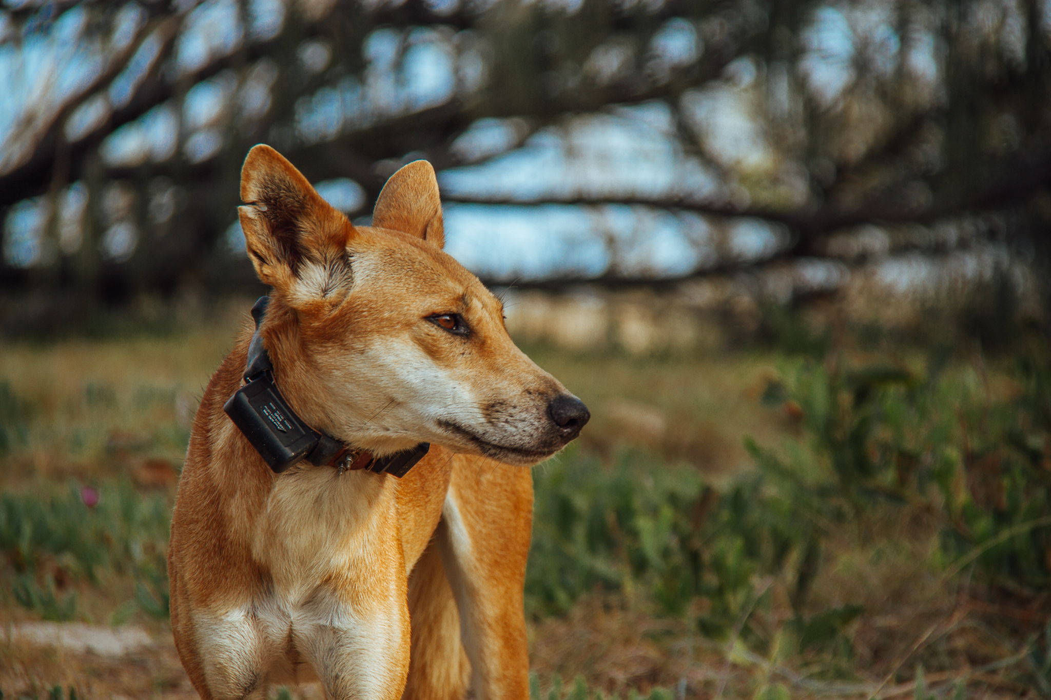 Dingo with Tracking Collar Fraser Island Queensland Australia
