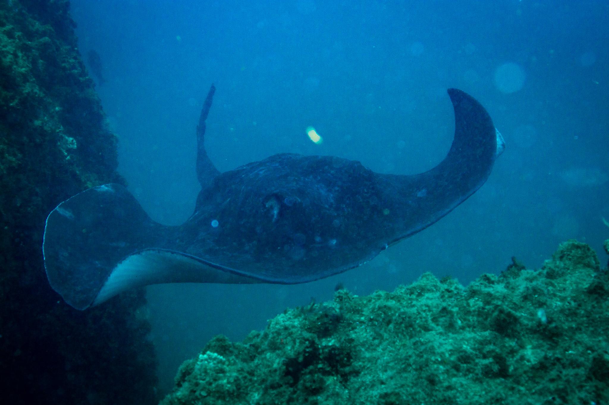 Bull Shark Swimming Wolf Rock Queensland Australia