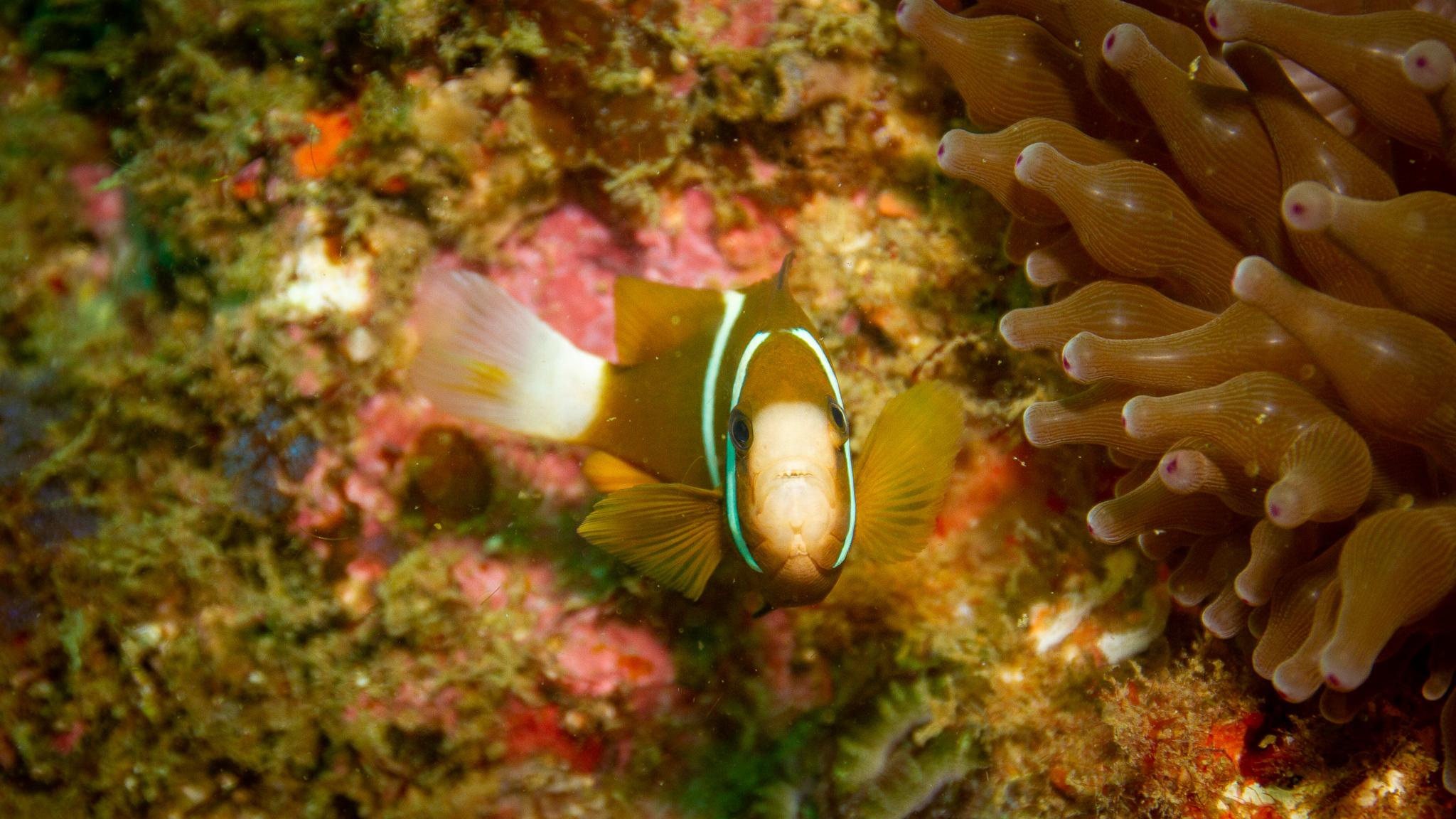 Clown Fish Wolf Rock Queensland Australia
