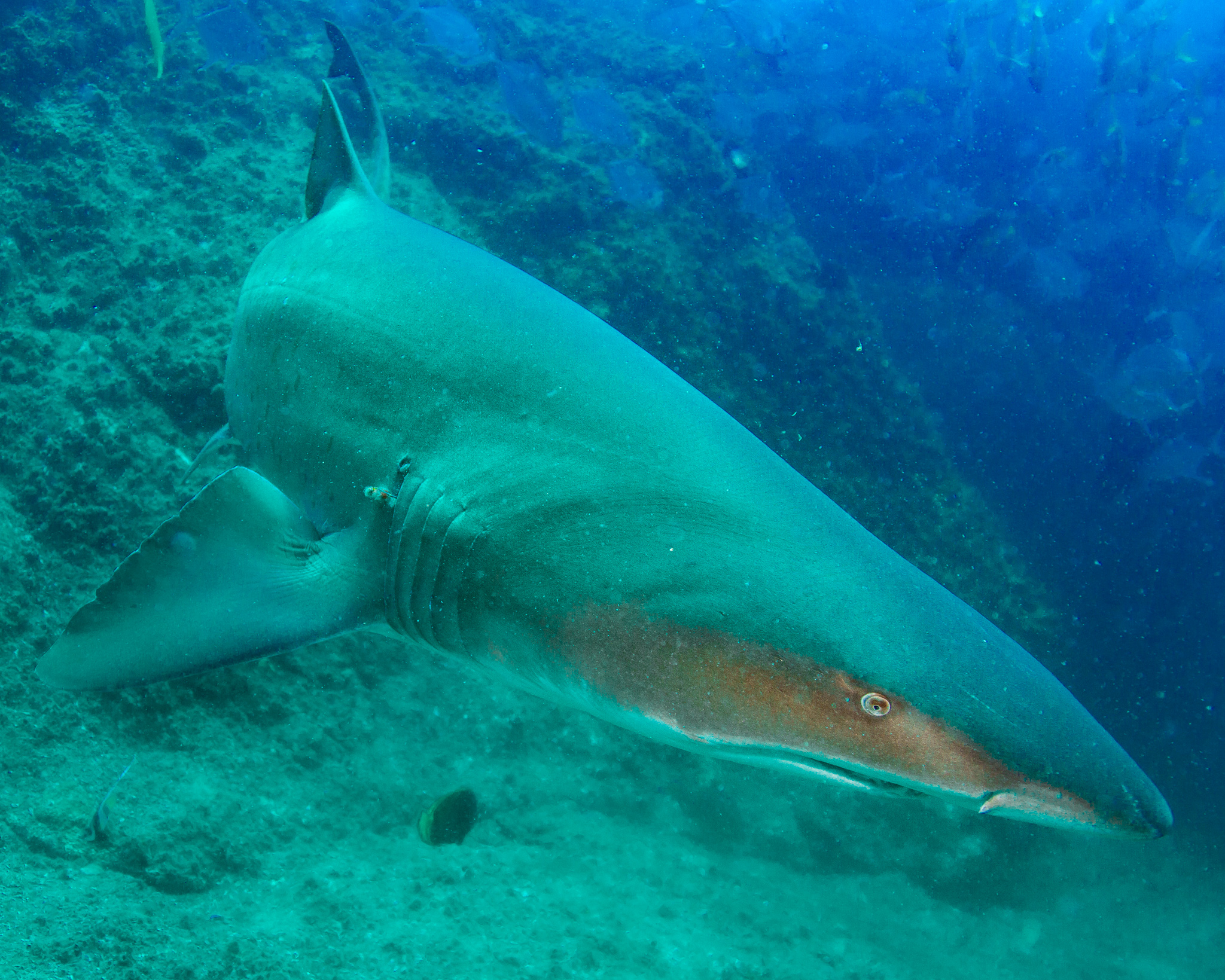 Scuba Diving Grey Nurse Shark Queensland Australia