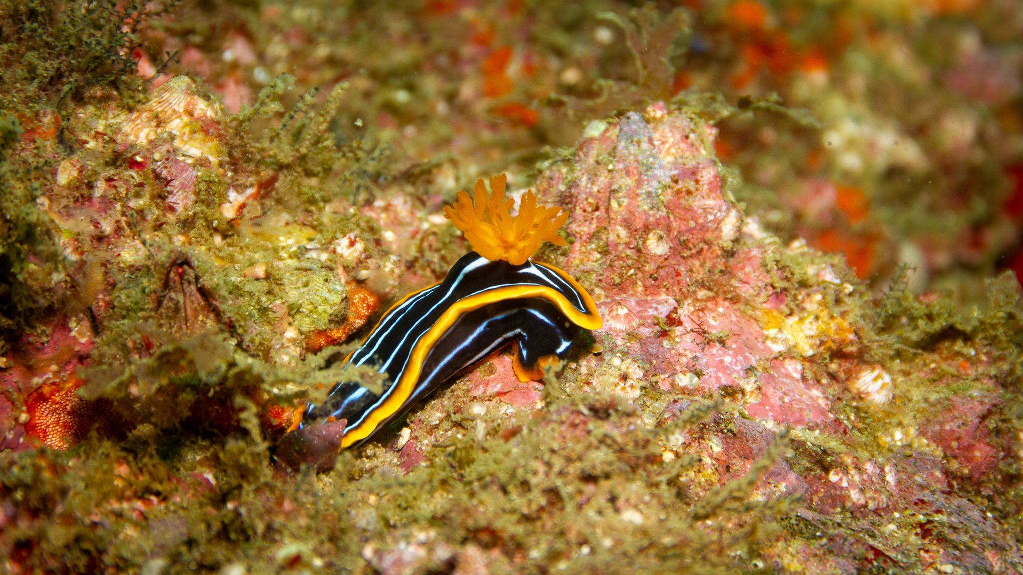 Nudibranch Wolf Rock Queensland Australia