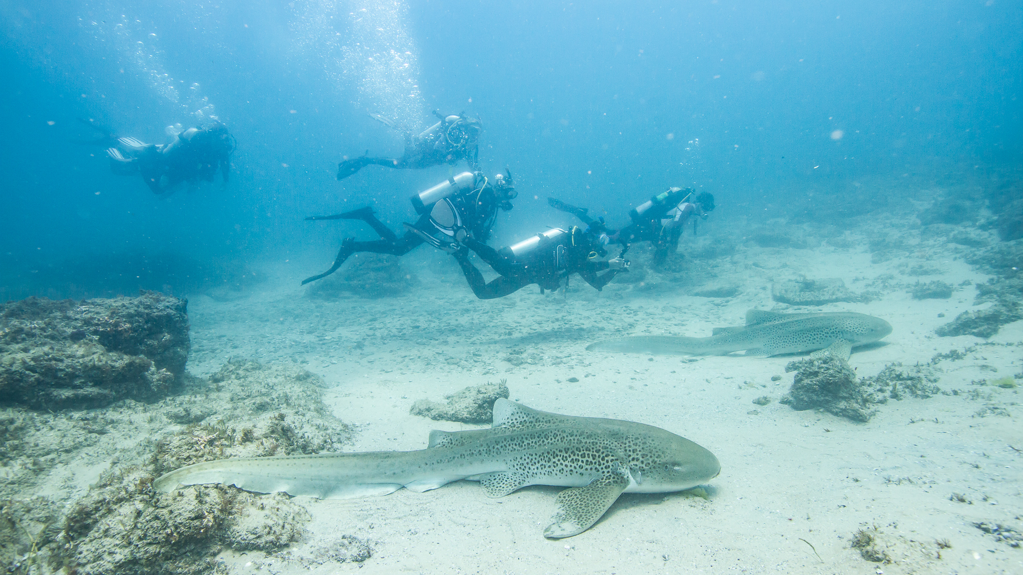 Scuba Diving with Leopard Sharks Stradbroke Island Queensland Australia