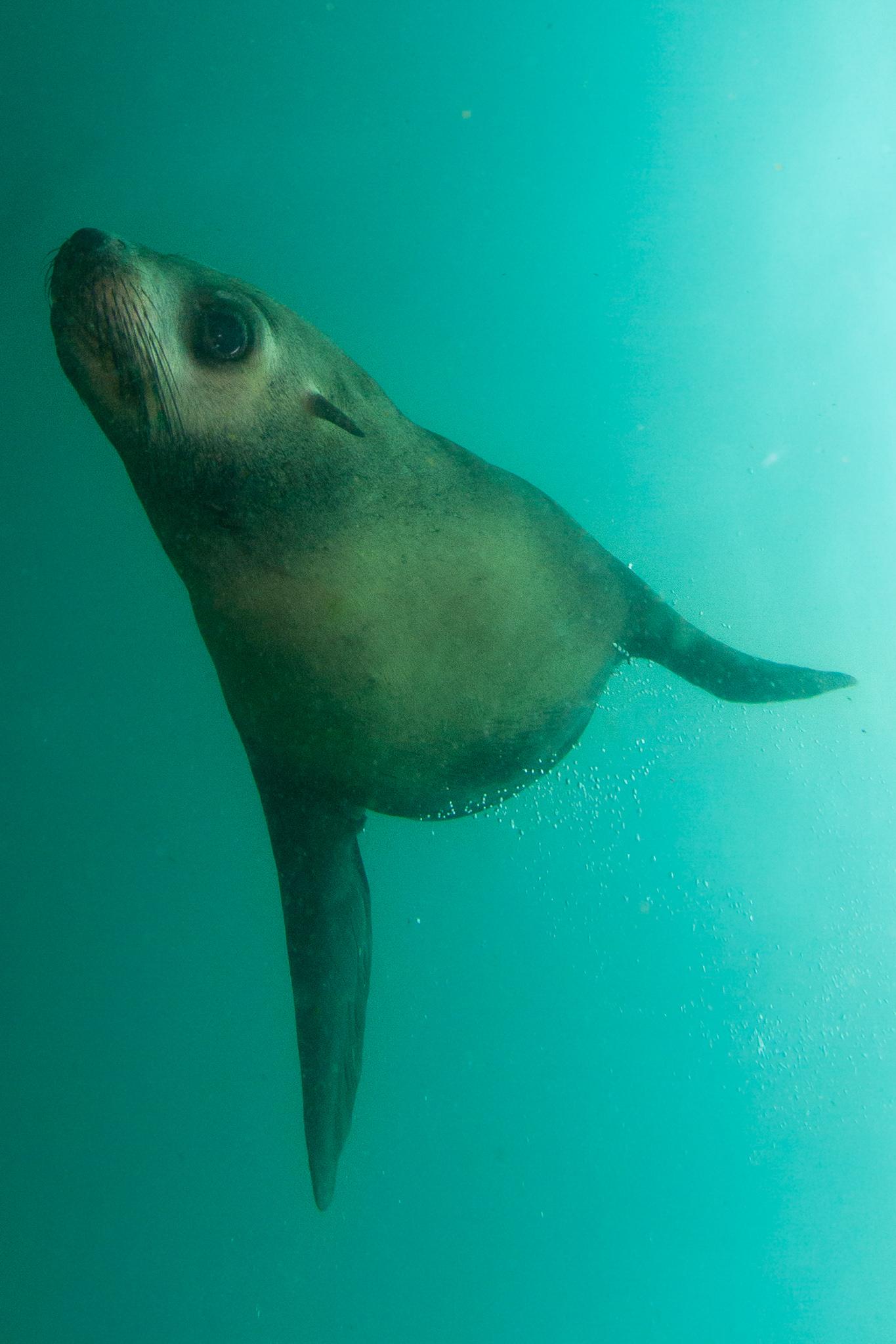 Seal Jervis Bay NSW Australia