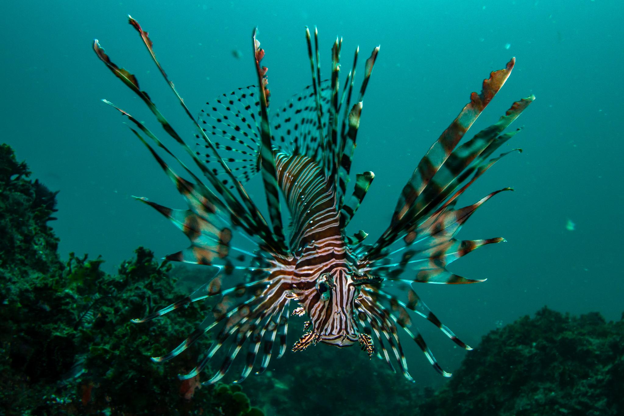 Lionfish Julian Rocks NSW Australia