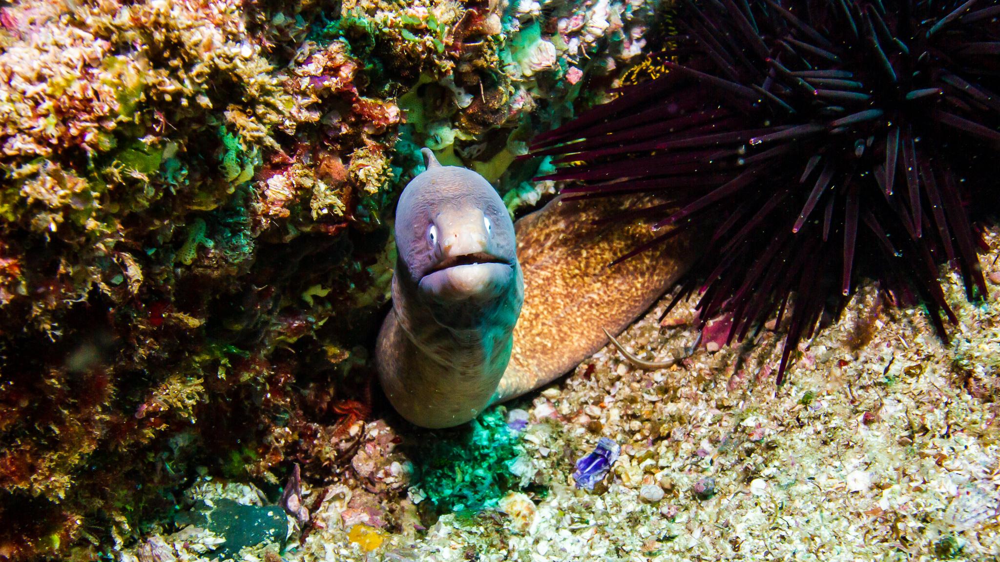 Moray Eel Julian Rocks NSW Australia