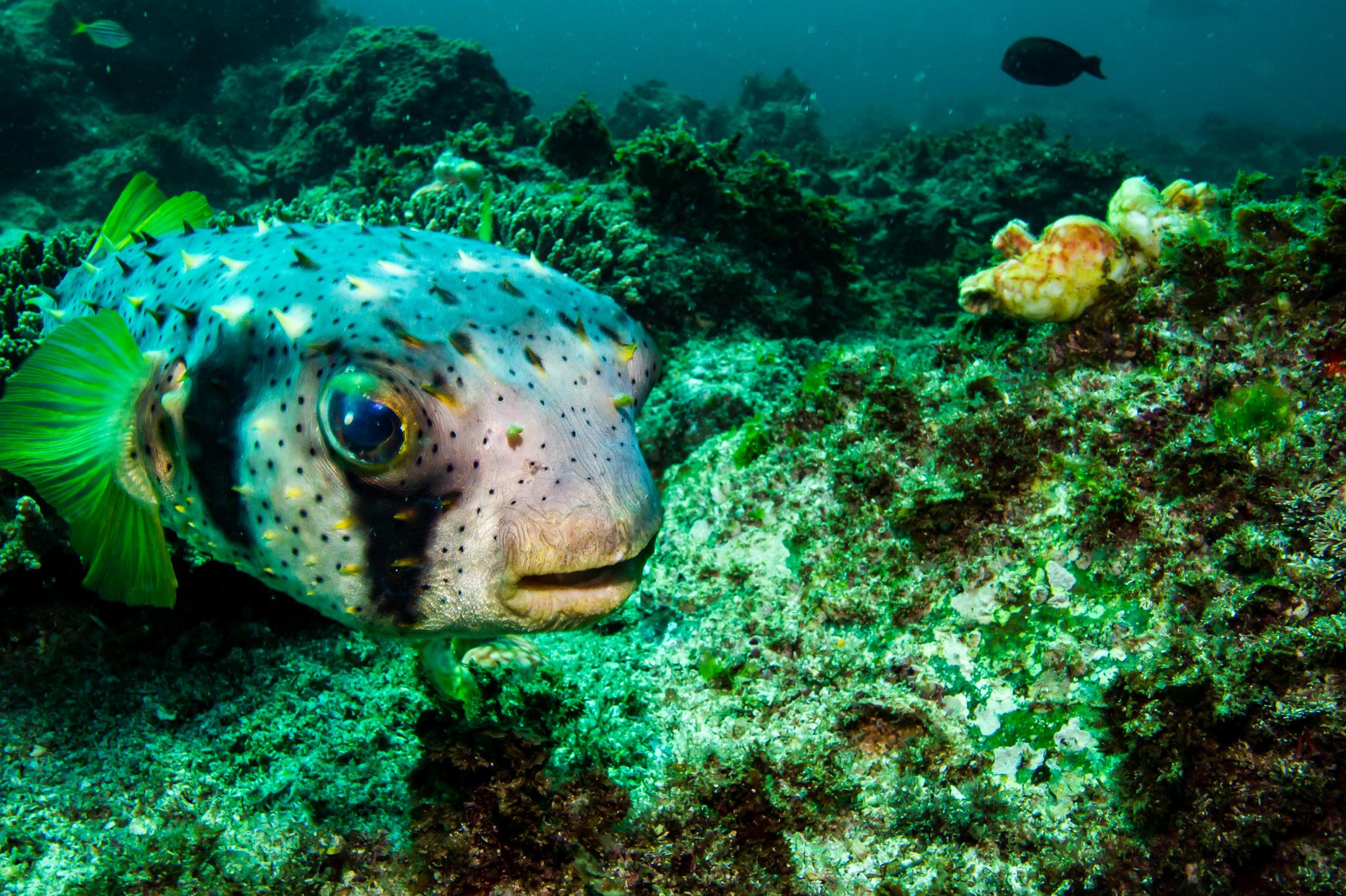 Puffer Fish Julian Rocks NSW Australia
