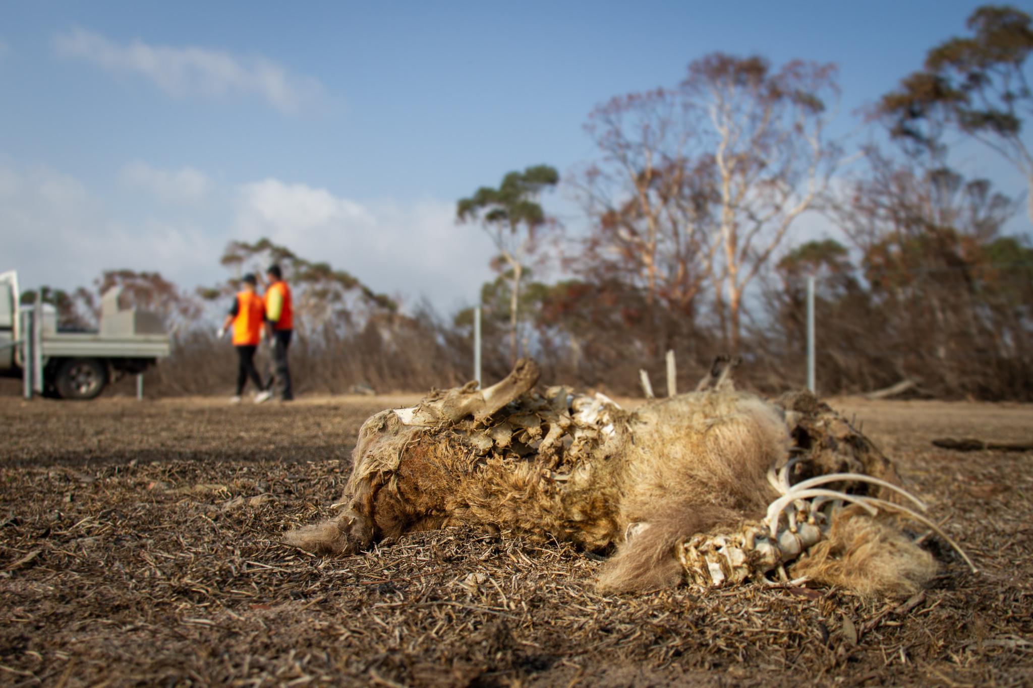 Dead Animal BlazeAid Braidwood New South Wales Australia