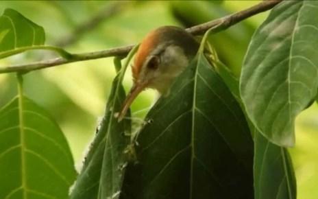 Un v?deo que refleja la sabiduria del mundo animal, que de manera aut?noma cose su propio nido, usando curiosamente su pico como aguja.