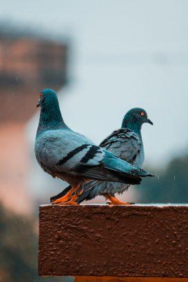 Comment Faire Fuir Les Pigeons : comment, faire, pigeons, Comment, Faire, éloigner, Pigeons, Toit,, Balcon,, Jardin