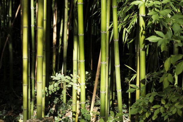 bambous secs comment les sauver apres