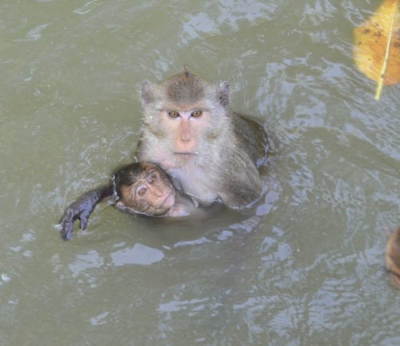 long-tailed macaque mother and baby swimming in Thailand