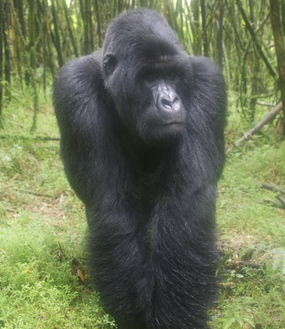 One of three silverbacks in the Sabyinyo troop in Volcanoes National Park, Rwanda