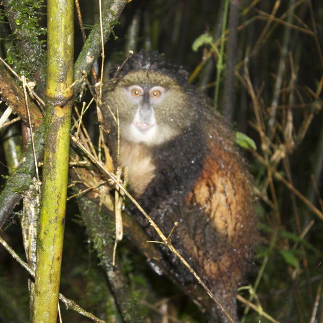 A very wet Golden Monkey in Volcanos National Park, Rwanda