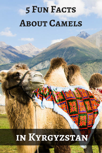 5 Fun Facts About Camels in Kyrgyzstan