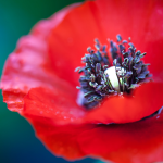 Close up image of a poppy