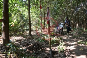 An area of rubber plantation where the electricity poles will pass through (Photo: MNA)