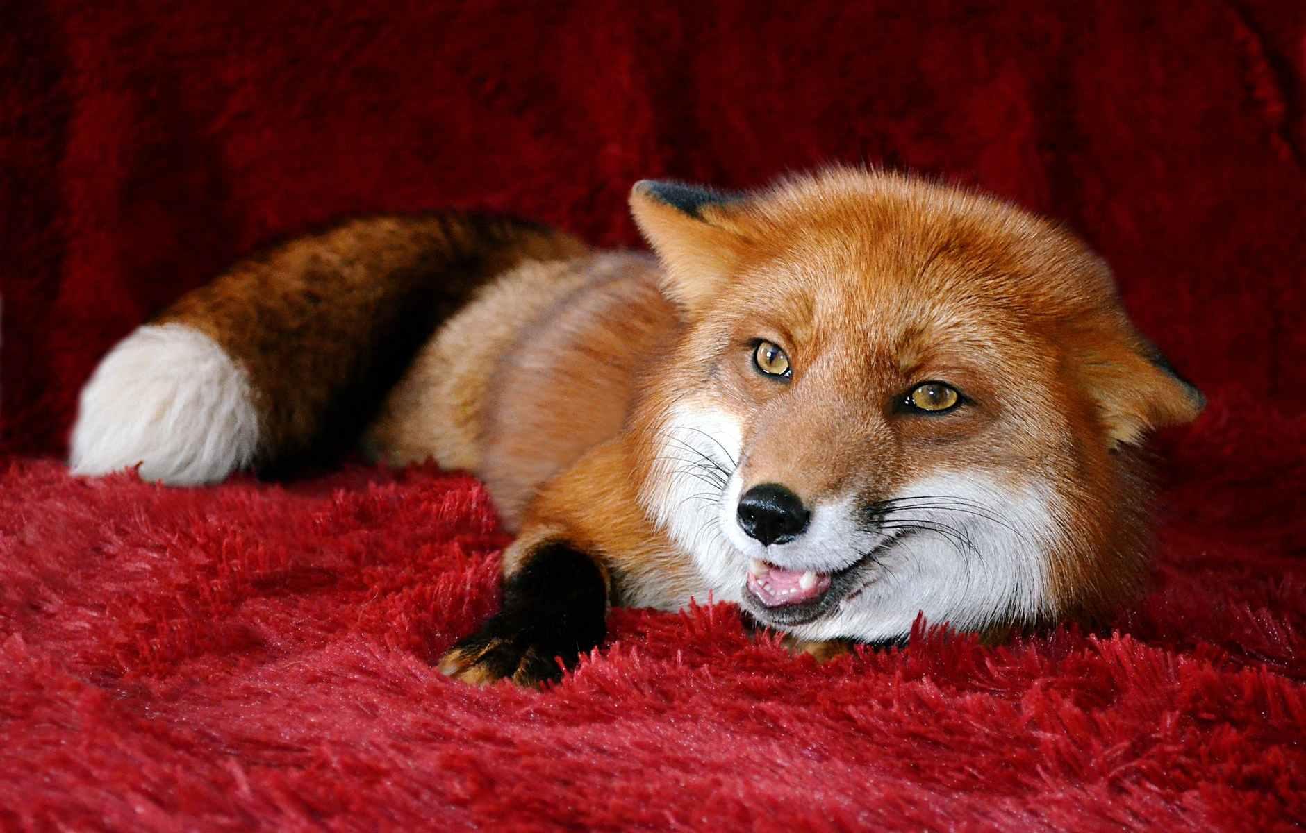 fluffy fox lying on soft plaid