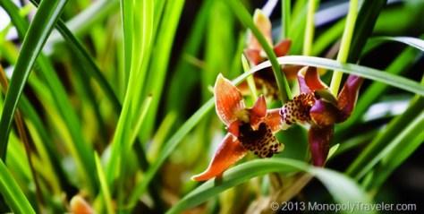 Maxilleria Orchid
