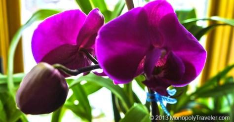 Purple Phalaenopsis