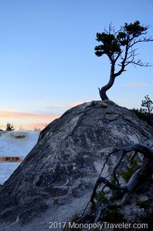 Tree struggling to live in dormant hot spring mineral deposits