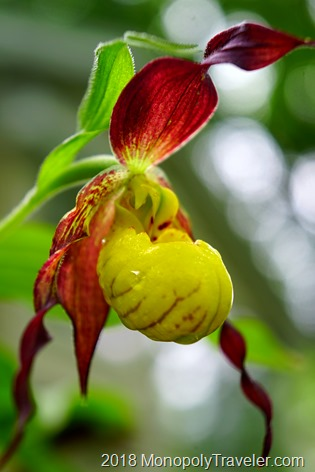 Red and yellow lady slipper