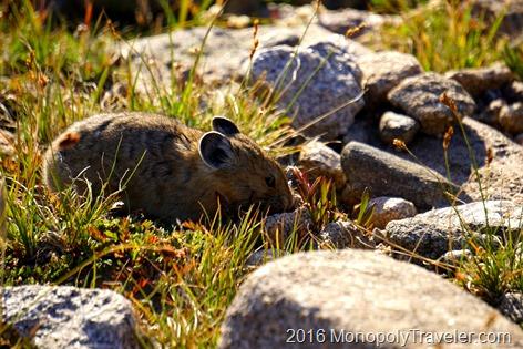 Picas roaming around on the tundra