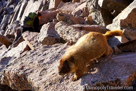 A marmot coming to be pet with a hiker in the background climbing boulders