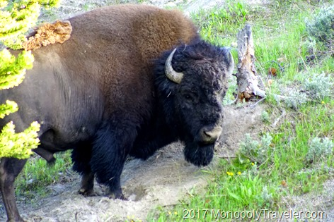 Bison after scratching in the dirt